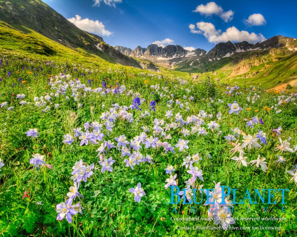 Colorado Blue Columbine | Rocky Mountains | Colorado | Usa