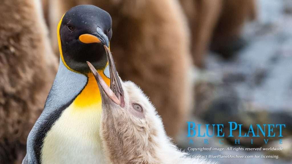 Leucistic King Penguin Chick | Aptenodytes Patagonicus