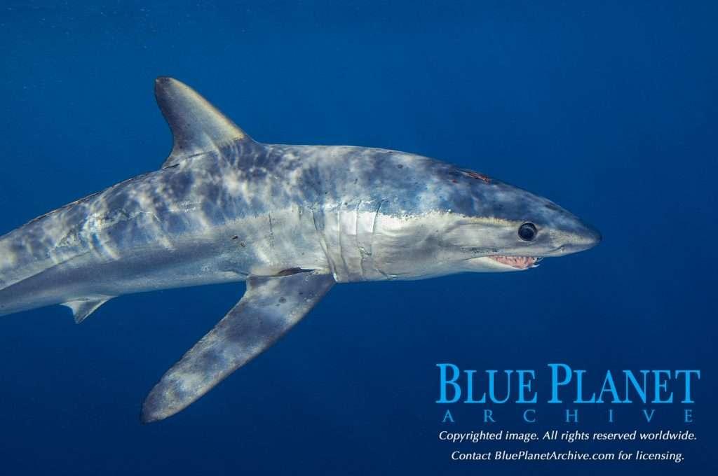 Longfin Mako Shark | Isurus Paucus