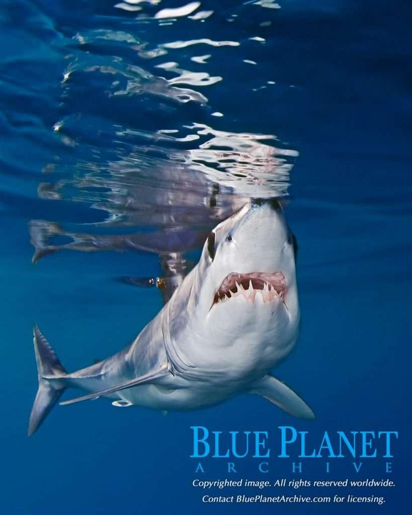Shortfin Mako Shark | Isurus Oxyrinchus