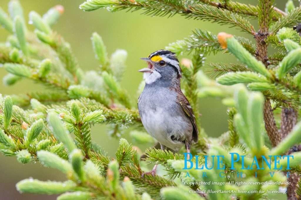 White Throated Sparrow | Zonotrichia Albicollis