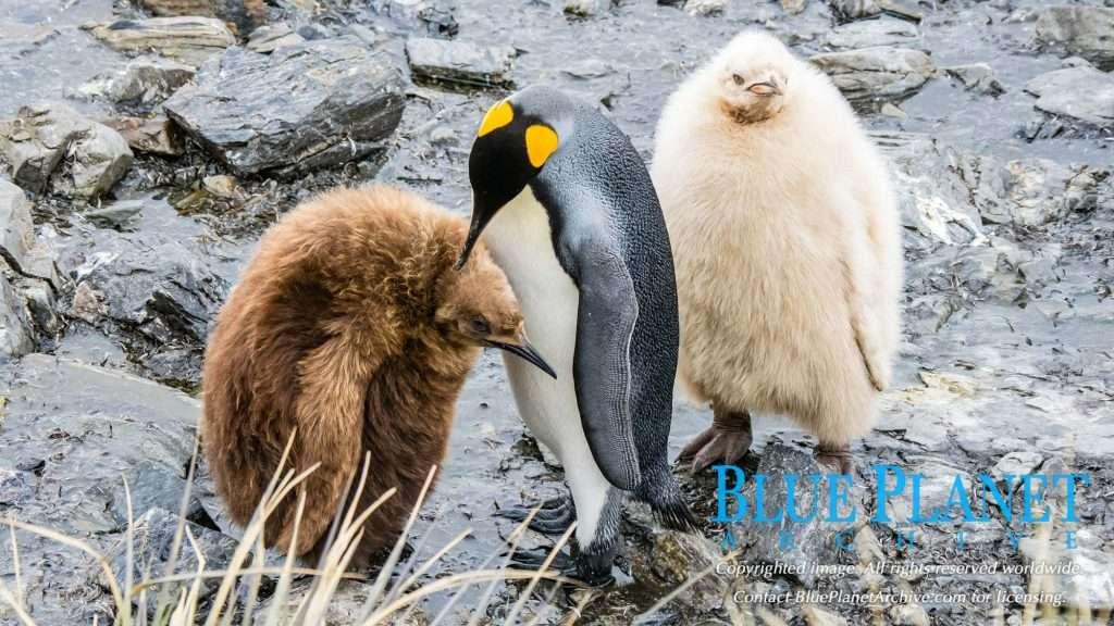 King Penguin | Aptenodytes Patagonicus