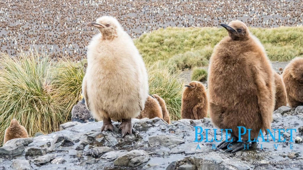 king penguin, Aptenodytes patagonicus, rare leucistic chick at breeding colony, Salisbury Plain, Bay of Isles, South Georgia, South Atlantic Ocean