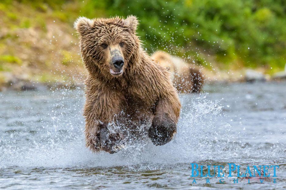 Grizzly Bear | Ursus Arctos Horribilis