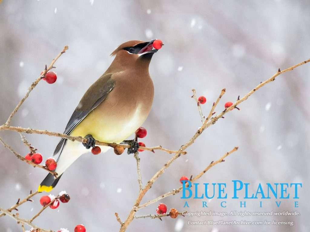 cedar waxwing, Bombycilla cedrorum, eating Canada holly berries - winterberry, Ilex verticillata, in winter in snow, Nova Scotia, Canada