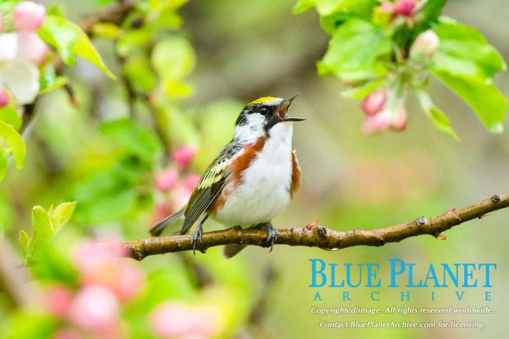 Chestnut Sided Warbler | Setophaga Pensylvanica