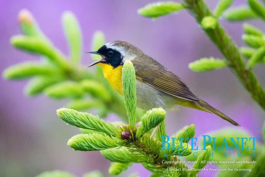 Common Yellowthroat | Geothlypis Trichas