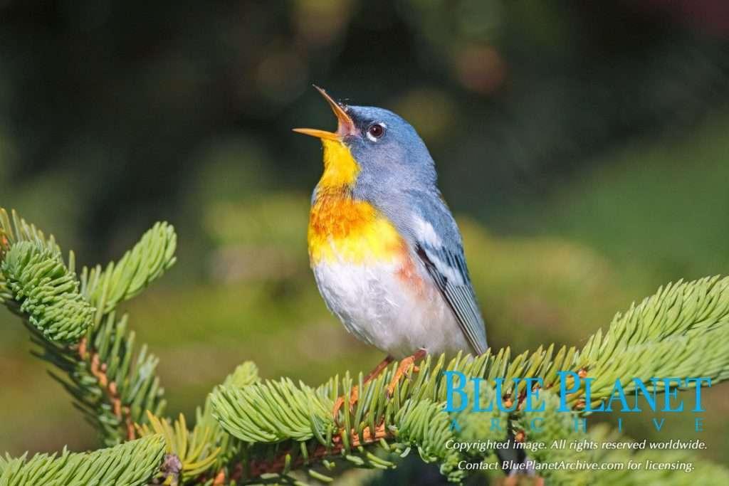 Northern Parula | Setophaga Americana