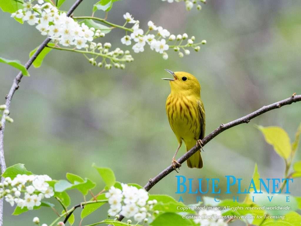 Yellow Warbler | Setophaga Petechia