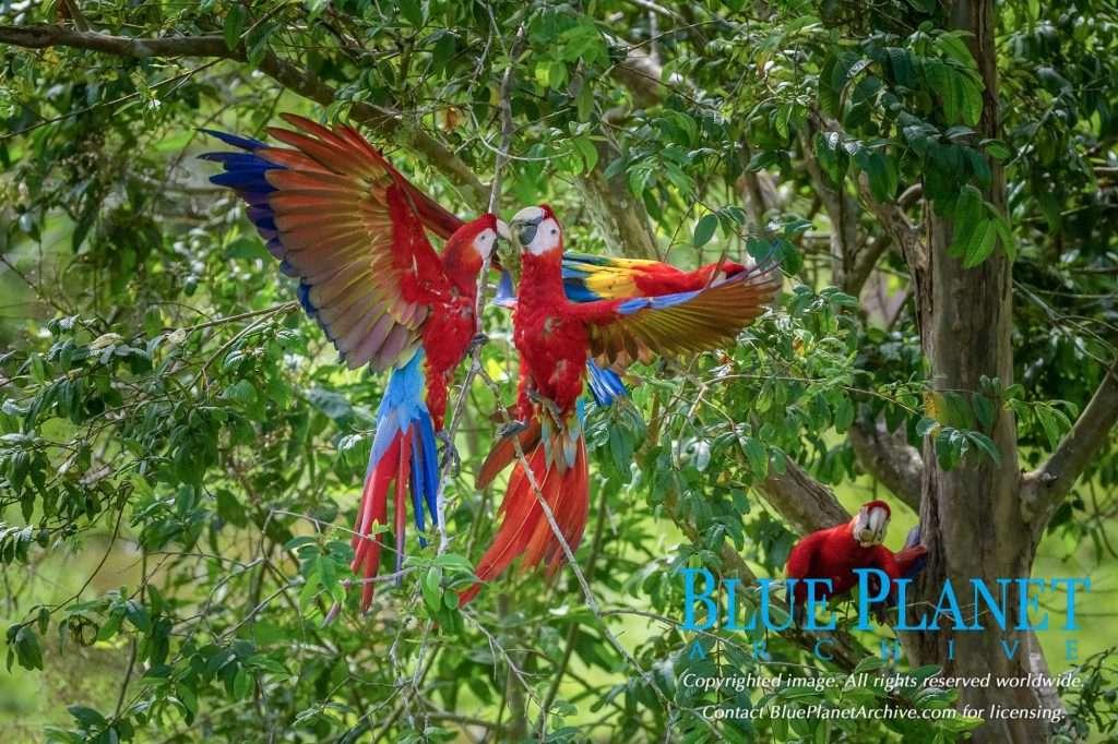 Scarlet Macaw | Ara Macao