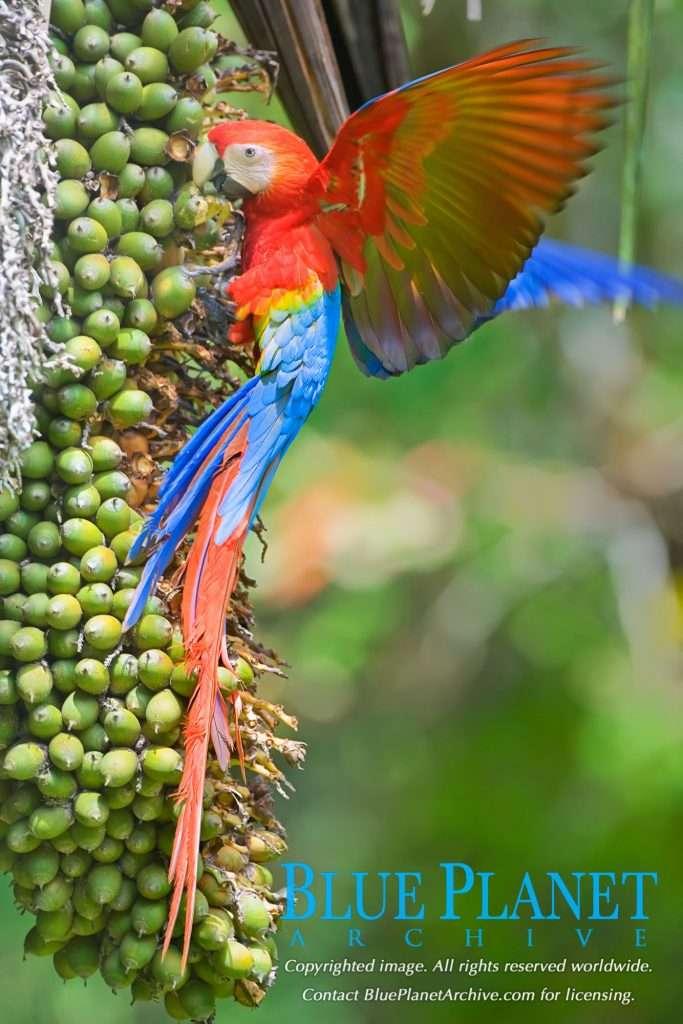 Latin America's Symbolic Bird Scarlet Macaw Images | Blue